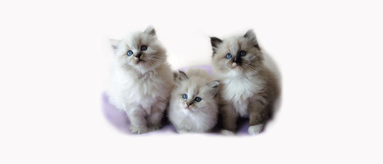koty syberyskie